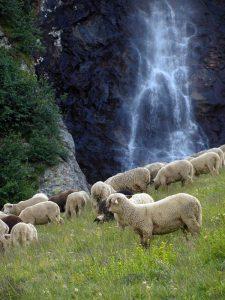 Alpages  en été des troupeaux de moutons